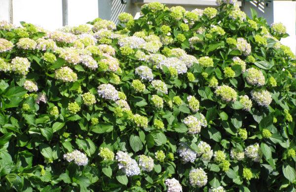 Hydrangea-macrophylla (Ballhortensie-Hecke)